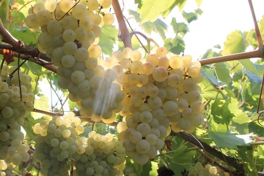 Lessini Durello: come il clima ti cambia il vino
